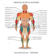 tutorial vector c anatomy human muscles front template medical stock vector 503953009