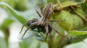 gruesome u0027wedding gifts u0027 keep male spiders from being eaten