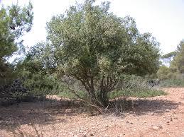the oak and terebinth trees
