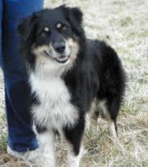 australian shepherd velcro dog topeka ks australian shepherd meet muttlie a dog for adoption