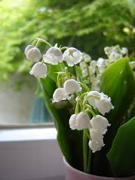 of the valley flower growing of the valley in pots learn about of the