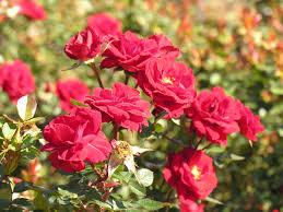 rose garden home and gardening