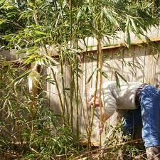 really rose bamboo