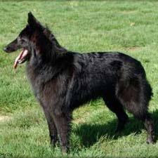 belgian shepherd temperament belgian sheepherd dog pet dogs belgian shepherd dog belgian