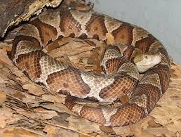 snakes of kentucky identification copperhead agkistrodon