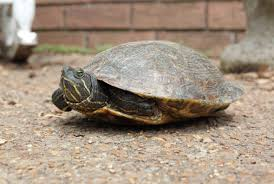 think you know what a turtle looks like think again natural