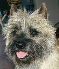 brindle cairn haircut pictures of cairn terrier puppies google search terrier mix