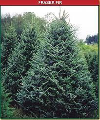 fraser fir wisconsin tree