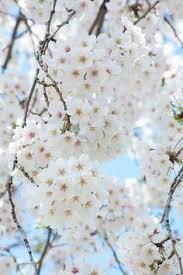 white cherry blossom http sylvia homeandinspiration sk 2014 03 zarte bluten