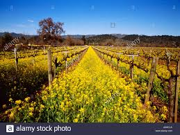 napa valley ground mustard agriculture dormant wine grape vineyard in with mustard