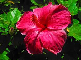 hibiscus madang ples bilong mi