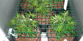 how well would a plant grow under pure yellow light indoor marijuana growing in soil