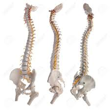 Human Vertebral Column Anatomy Spinal Cord Images U0026 Stock Pictures Royalty Free Spinal Cord