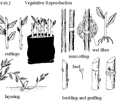 Vegetative Propagation By Roots - foodgardens2