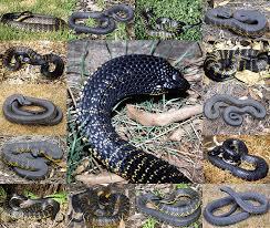 tiger snake u003cem u003enotechis u003c em u003e u003csmall u003eboulenger 1896 u003c small