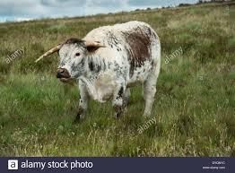longhorn beef cattle stock photos u0026 longhorn beef cattle stock
