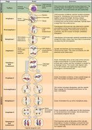 prophase ii the process of meiosis by openstax page 5 17