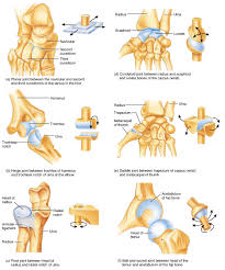 Human Body Anatomy Pics Joints Of The Body Joint Anatomy In The Human Body Learn Bones