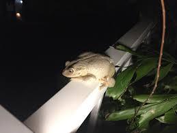 this albino frog in my backyard interesting stuff pinterest