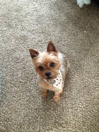 yorkie haircuts pictures only yorkie haircut my baby 3 yorkies 3 pinterest yorkie