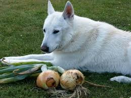 are onions for dogs are onions safe for dogs thriftyfun