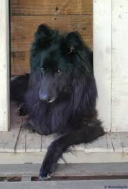 belgian sheepdog rescue ohio belgian shepherd u003c3 puppies pinterest animals and pets
