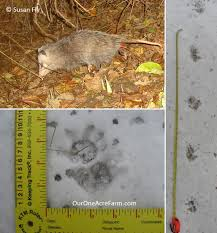 poultry predator identification a guide to tracks and sign