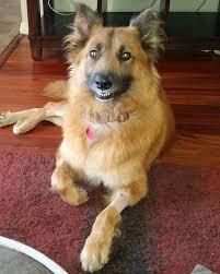 belgian sheepdog illinois view ad australian shepherd mix dog for adoption california san
