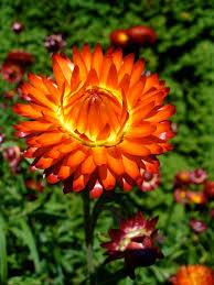 straw flowers straw flowers garden mad