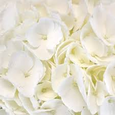 white hydrangeas ivory white flower