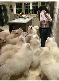 american eskimo dog forum a slew of american eskimo dogs imgur