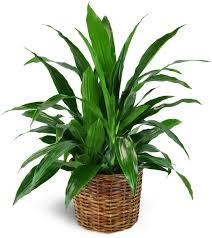 dracaena dracaena plant in a basket geneva il florist