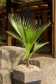 mexican fan palm growth rate mexican fan palm monrovia mexican fan palm