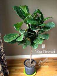 my new succulents and fiddle leaf fig tree and the master plan