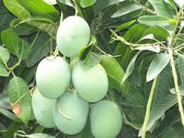 langra mango for pickle aam amb ks traders amroha id