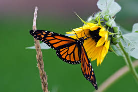 file corn and sunflower butterfly is optional 298058648 jpg
