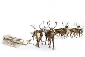 When Do Deer Shed Their Antlers by Are Santa U0027s Reindeer Males