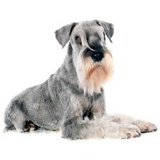 affenpinscher loyalty standard schnauzer dog breed everything about standard schnauzer