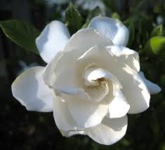 gardenia flower learn how to grow and care for gardenia plants