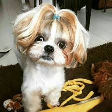 shih pooh haircut pin by billiejean beechey murray on shitzu ponytails pinterest