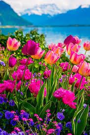 tulips flowers tulips of switzerland s album