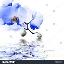 Blue Orchid Flower - beautiful blue orchid flower phalaenopsis reflected stock photo