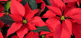 Christmas Plants Which Holiday Plants Are Toxic To Dogs Modern Dog Magazine