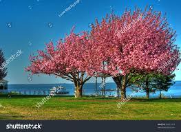 spring trees on chesapeake bay maryland stock photo 50951413