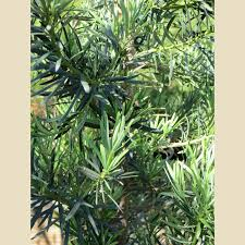 deer resistant native plants podocarpus macrophyllus u0027maki u0027 deer resistant screen