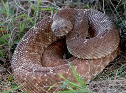 urban legends giant florida rattlesnake