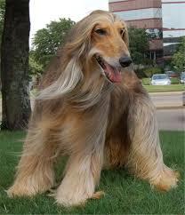 afghan hound black hair dog breeds