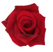 Dark Red Flower - explorer dark red rose bulk dark red rose