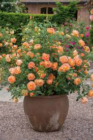austin native plants giveaway david austin roses central texas gardener