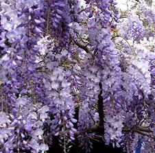 wisteria meaning wisteria pruning sandra s garden
